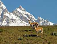 A Pair of Antelopes and the Teton Peaks