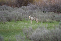 coyote along road