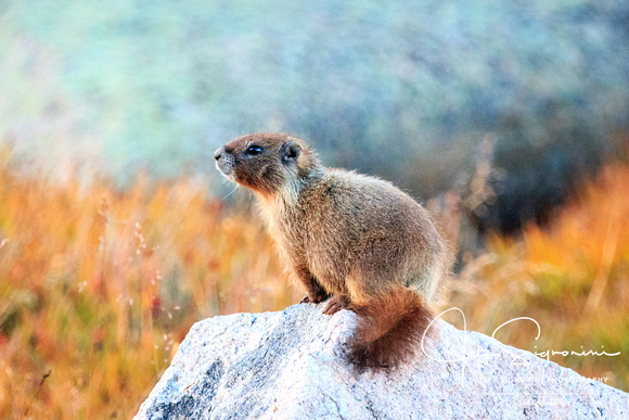 Yellow Bellied Marmot - Mount Evans