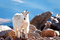 Mountain goat atop Mount Evans, 14,265'